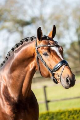 Dressuurpaard King van Het Haarbosch