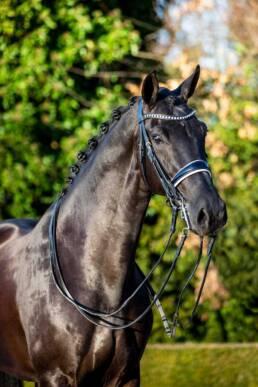 Prince, een dressuurpaard van Het Haarbosch
